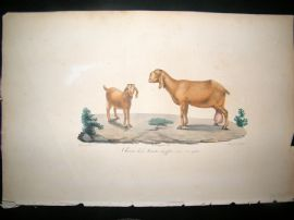 Saint Hilaire & Cuvier C1830 Folio Hand Colored Print. Egyptian Goat